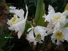 Galerie Aachen_Soers_orchideenausstellung_31012009_3.jpg anzeigen.