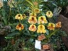 Galerie Aachen_Soers_orchideenausstellung_31012009_4.jpg anzeigen.