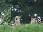 Galerie Aachen_Tierpark_Gepard_08022012_5.jpg anzeigen.